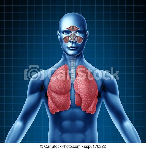 öböl, légzőrendszer, emberi - csp8170322