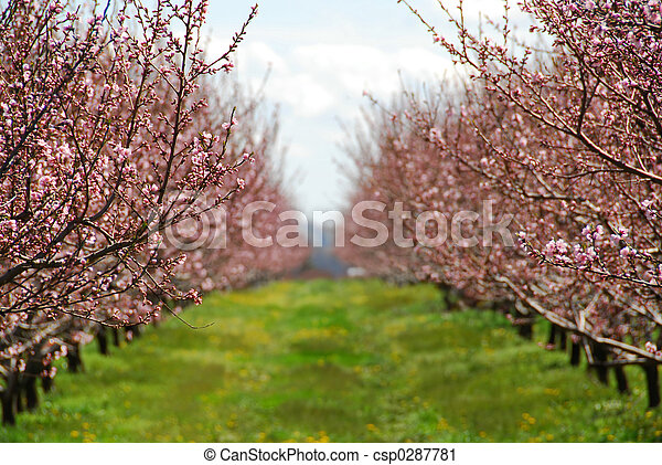 őszibarack, gyümölcsöskert, virágzó - csp0287781