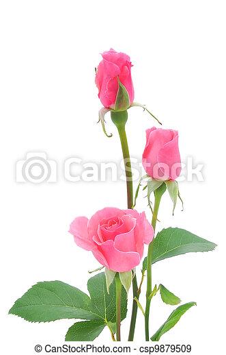 agancsrózsák, rózsaszínű, elszigetelt - csp9879509