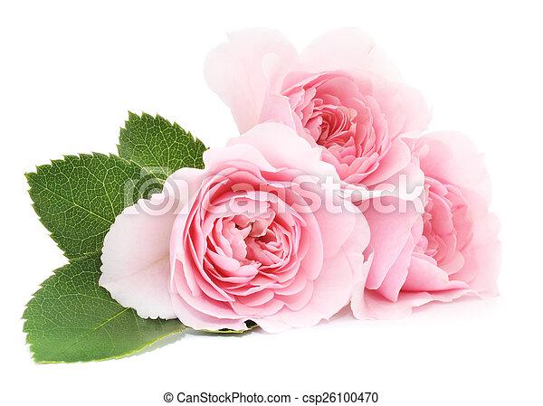 agancsrózsák, rózsaszínű - csp26100470