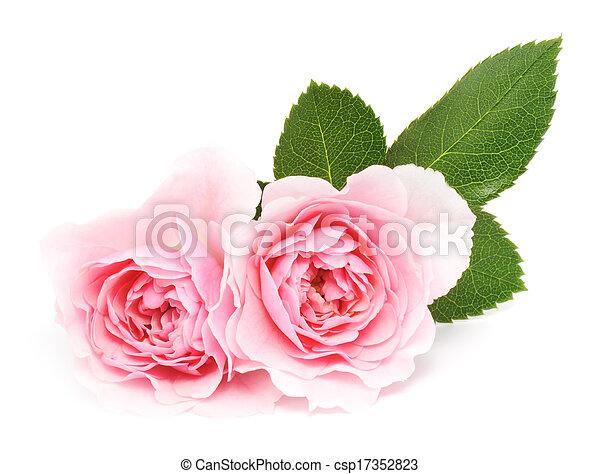 agancsrózsák, rózsaszínű - csp17352823