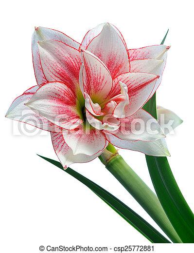 amarillisz, virágzó - csp25772881