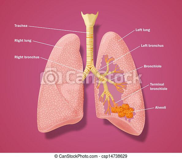 anatómia, időtartam, légzési - csp14738629