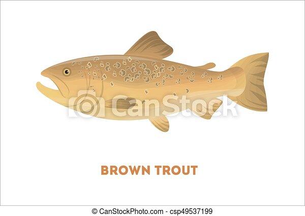 barna pisztráng, elszigetelt, fish. - csp49537199