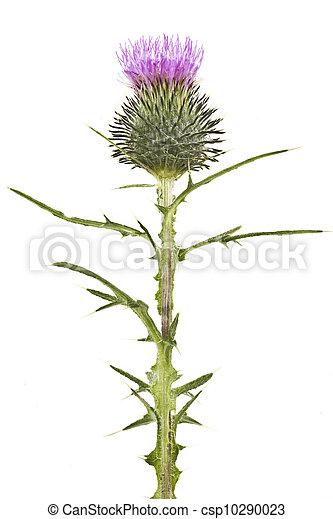 bogáncs, virágzó - csp10290023