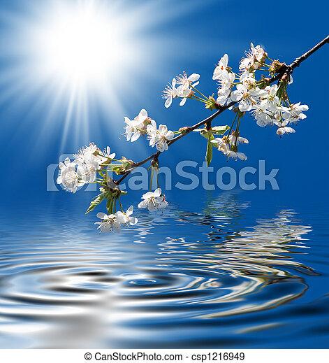 cseresznye, virágzó - csp1216949