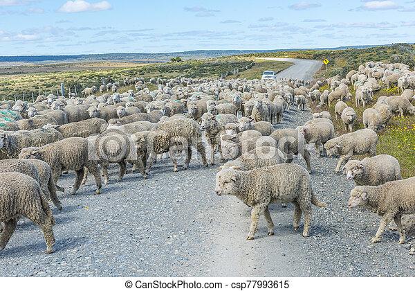 csorda, del, sheep, út, tierra, fuego - csp77993615