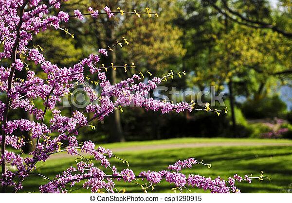 eredet, liget, cseresznyefa, virágzó - csp1290915