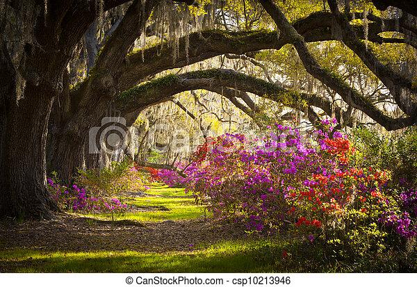eredet, spanyol, tölgy, bitófák, ültetvény, él, azálea, moha, virágzó, sc, charleston, menstruáció, nyílik - csp10213946