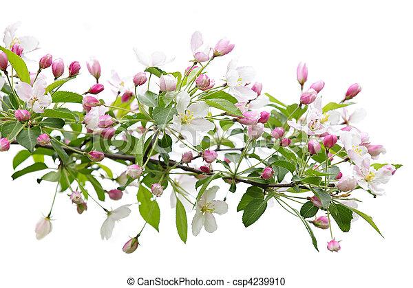 fa, alma, elágazik, virágzó - csp4239910