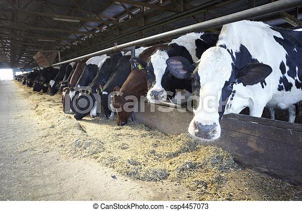 fej tehén, tanya, buta, mezőgazdaság - csp4457073