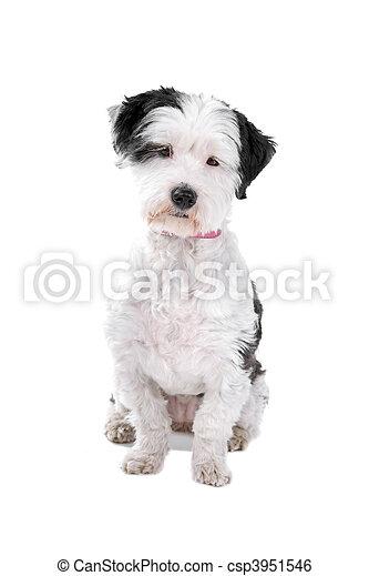 felfordulás nem, kutya, nagy hím kenguru - csp3951546