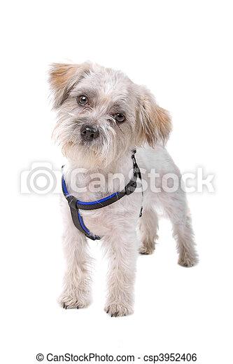 felfordulás nem, kutya, nagy hím kenguru - csp3952406
