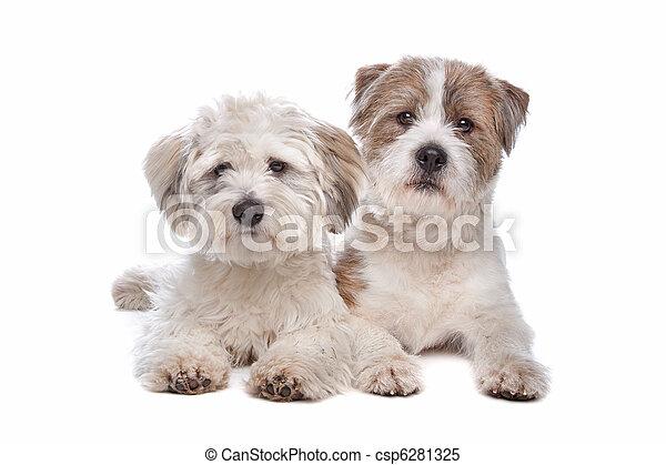 felfordulás nem, kutya, nagy hím kenguru - csp6281325