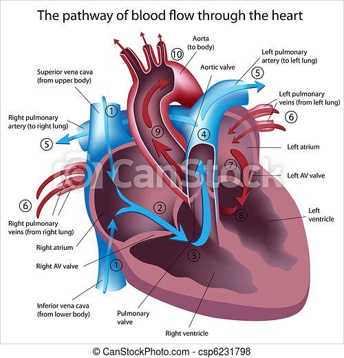 folyik, át, vér, szív - csp6231798