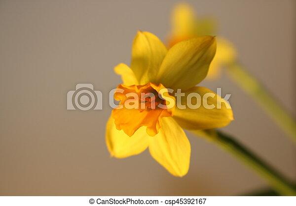 gyönyörű, állhatatos, nárciszok, elszigetelt, sárga - csp45392167