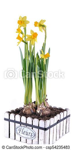 gyönyörű, befőzött, nárciszok, elszigetelt - csp54235483