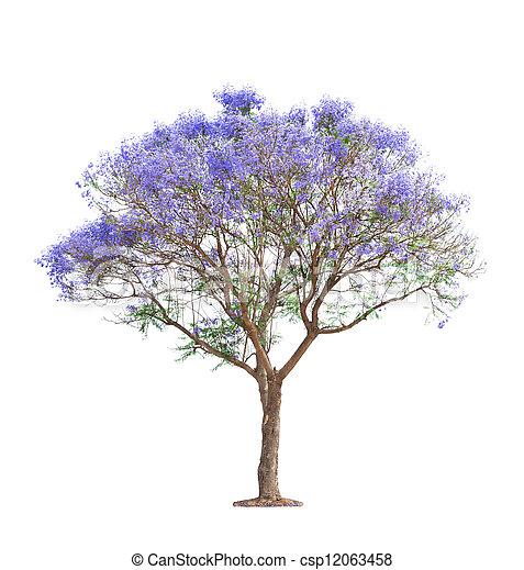 gyönyörű, jacaranda, fa, virágzó - csp12063458