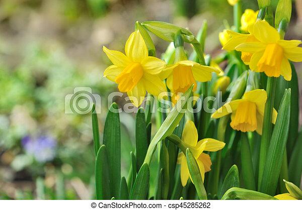 gyönyörű, nárciszok, brigh - csp45285262