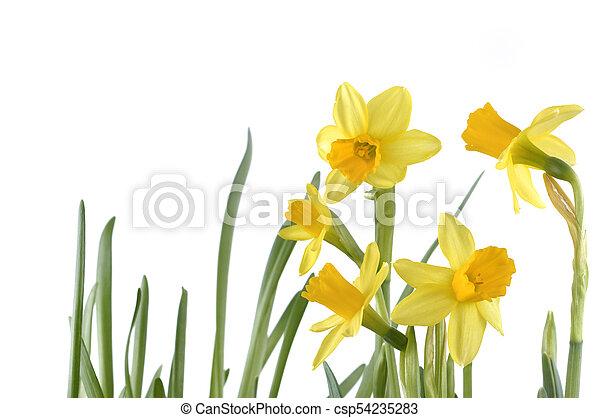 gyönyörű, nárciszok, elszigetelt - csp54235283