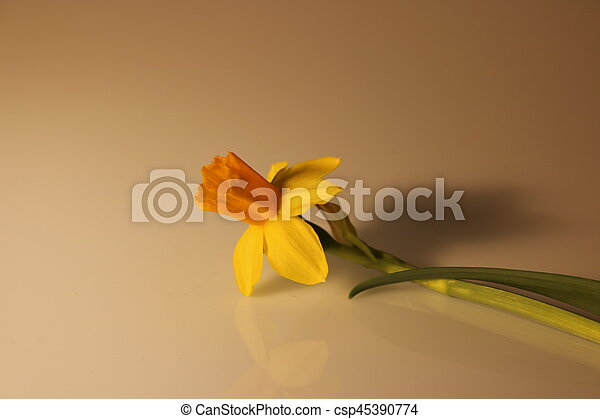 gyönyörű, nárciszok, elszigetelt, sárga - csp45390774
