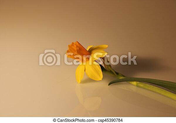 gyönyörű, nárciszok, elszigetelt, sárga - csp45390784
