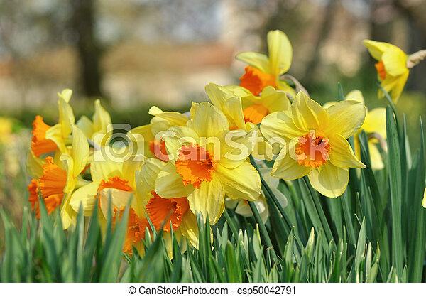 gyönyörű, nárciszok, kert - csp50042791