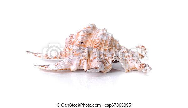 gyönyörű, pearly, kagyló, elszigetelt, háttér, fehér - csp67363995