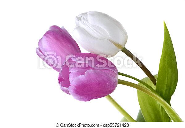 gyönyörű, rózsaszínű, elszigetelt, tulipánok - csp55721428