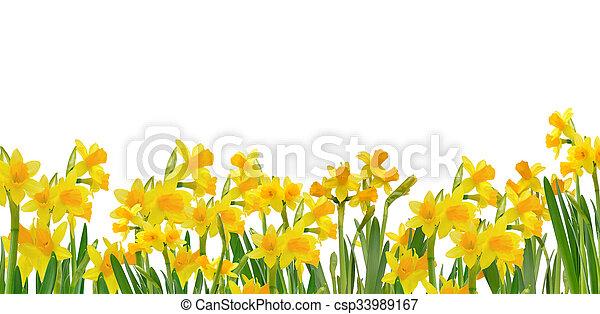 gyönyörű, virágzó, nárciszok - csp33989167