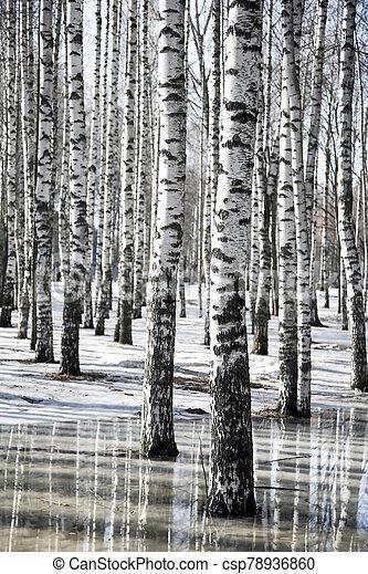 hó, olvadt, eredet, bitófák, nyírfa, táj - csp78936860