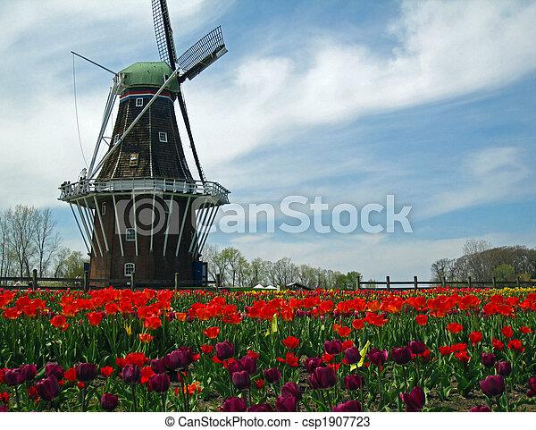 holland, szélmalom, virágzó, tulipánok, mező - csp1907723