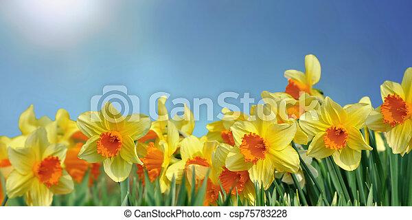 kék ég, virágzó, gyönyörű, nárciszok, mező, alatt - csp75783228