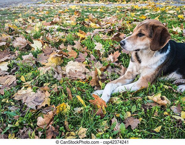 kutya, az, avaron, foltos - csp42374241