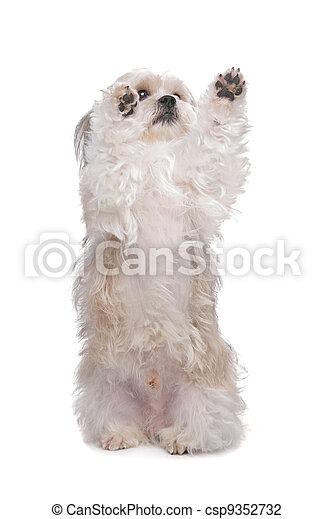 kutya, nagy hím kenguru - csp9352732