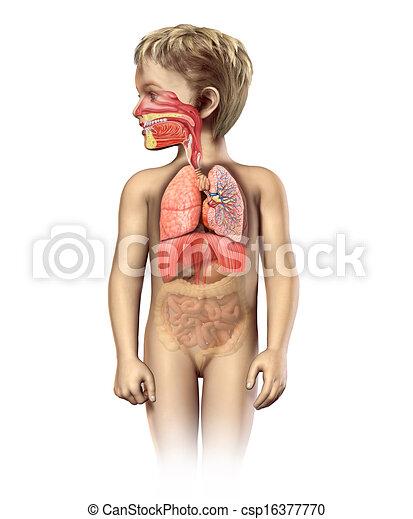 légzési, cutaway., rendszer, anatómia, tele, gyermek - csp16377770
