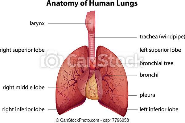 légzőrendszer, emberi - csp17796058