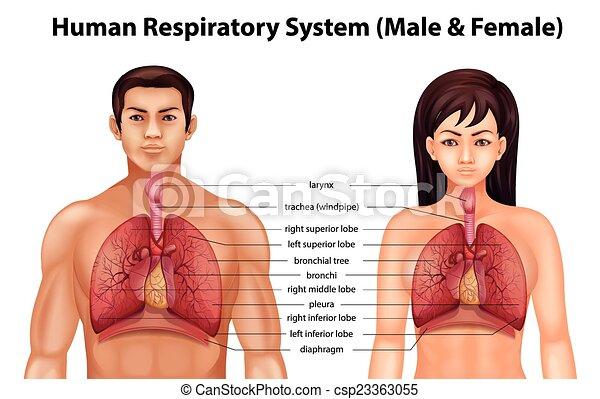 légzőrendszer, emberi - csp23363055