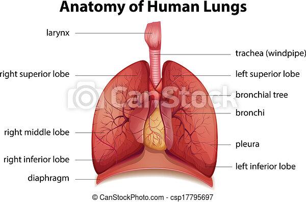légzőrendszer, emberi - csp17795697