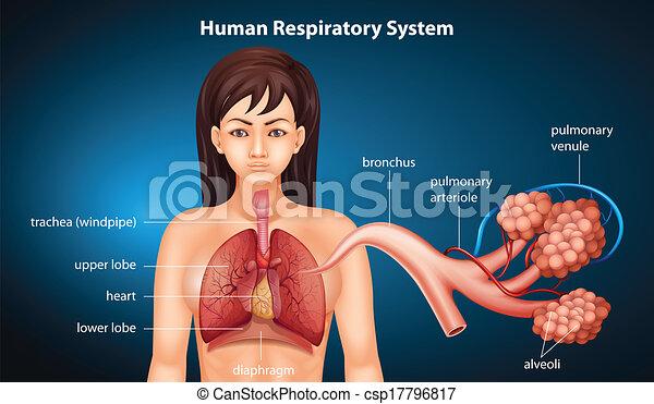 légzőrendszer, emberi - csp17796817