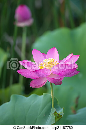 lotus virág, virágzó - csp21187780