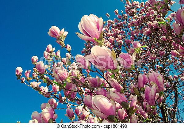 magnólia, április, virágzó, fa - csp1861490