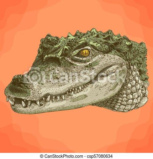 metszés, krokodil, fej, ábra - csp57080634