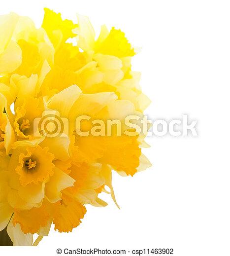 nárciszok, határ, gyönyörű - csp11463902