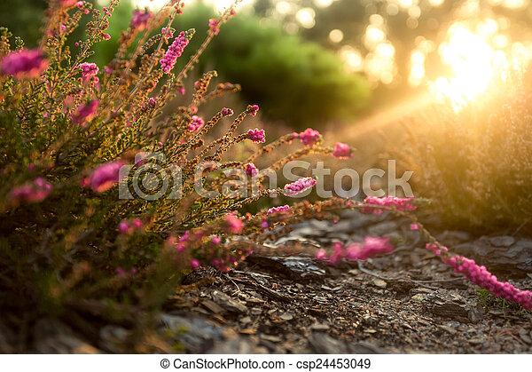 napos, levendula, reggel, korán, mező, ibolya - csp24453049