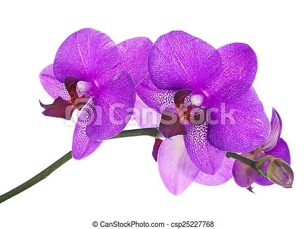 orgona, elszigetelt, háttér., virágzó, fehér, gally, orhidea - csp25227768