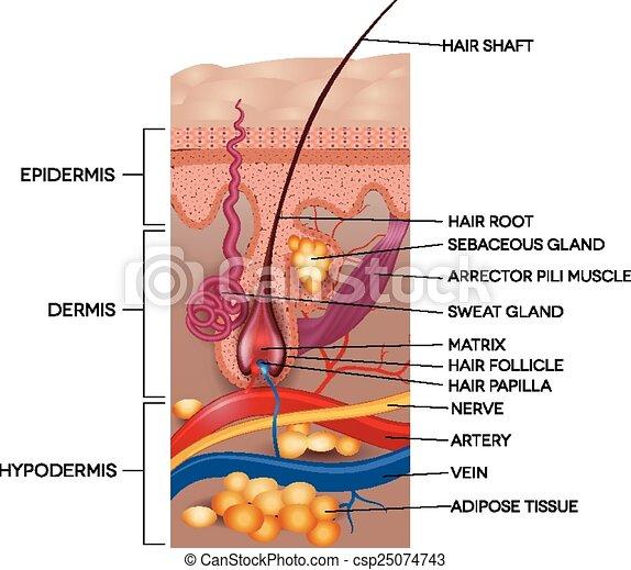 részletes, anatomy., illustration., orvosi, haj, címkével ellátott, bőr - csp25074743