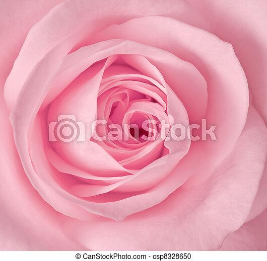 rózsaszínű rózsa, kép, feláll, egyedülálló, becsuk - csp8328650