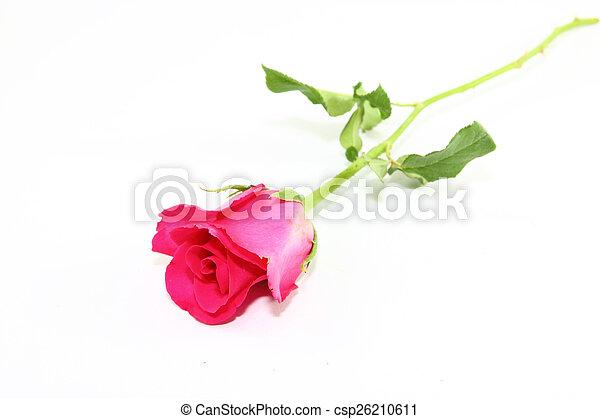 rózsaszínű rózsa - csp26210611