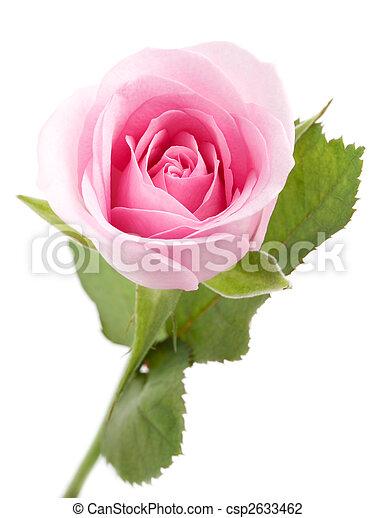 rózsaszínű rózsa - csp2633462